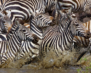 Photograph of Zebras by James Gary Hines II